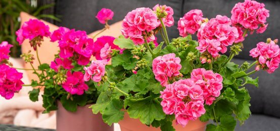 Stelletips for pelargonia